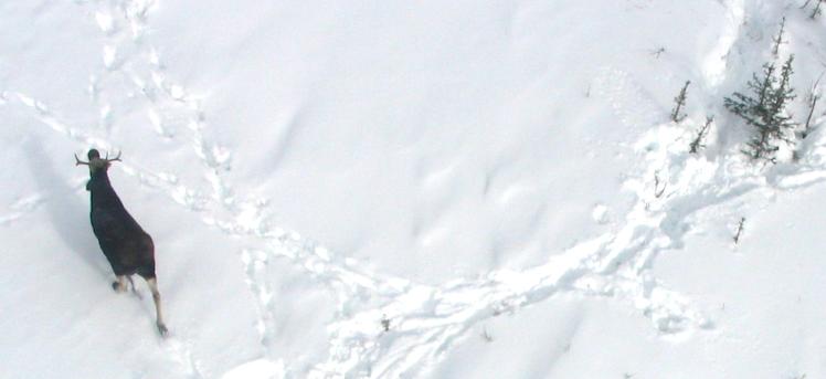 « Unis pour la faune » et les orignaux dénombrés par caméras !