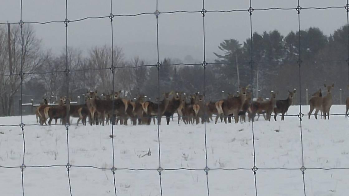 Des cerfs sauvages québécois menacés par la MDC de l'Ouest