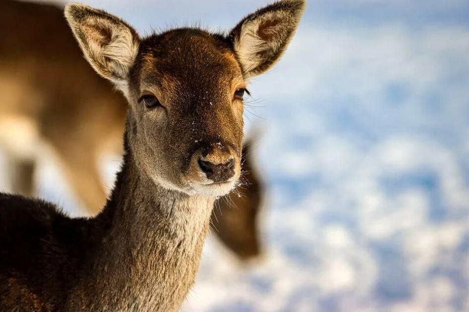 Plus de 40 cerfs devront être abattus sur l'île de Montréal