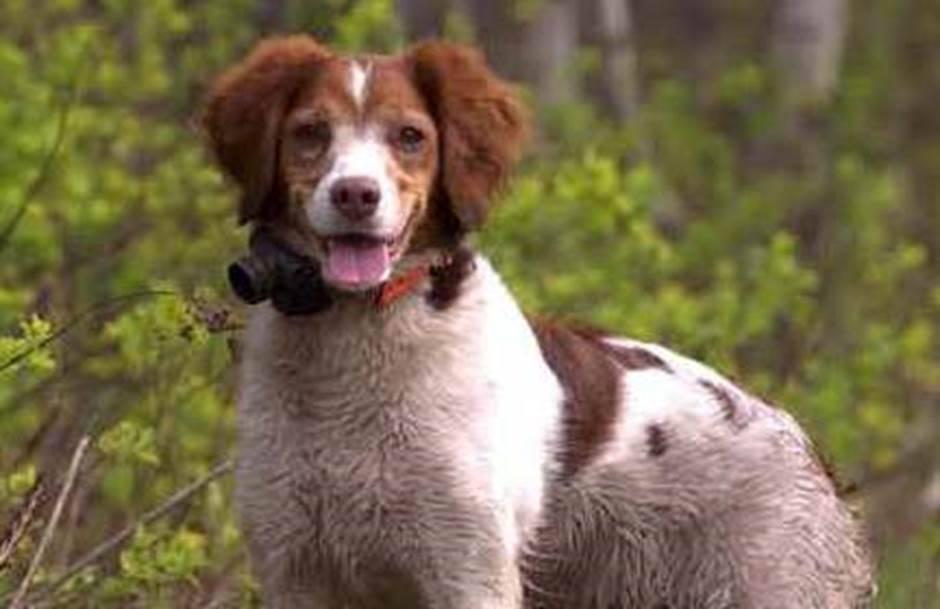 Un comité prêt à améliorer la chasse avec chiens au Québec