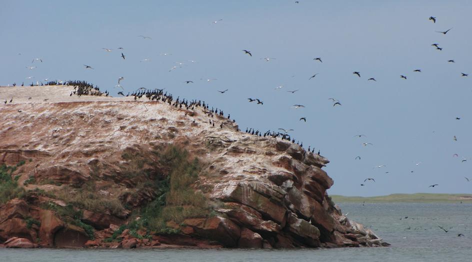 Contrôler le Cormoran à aigrettes par la chasse, ça urge aux Îles !