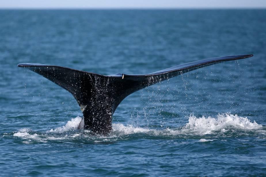 Une première baleine noire a été aperçue dans le golfe du Saint-Laurent