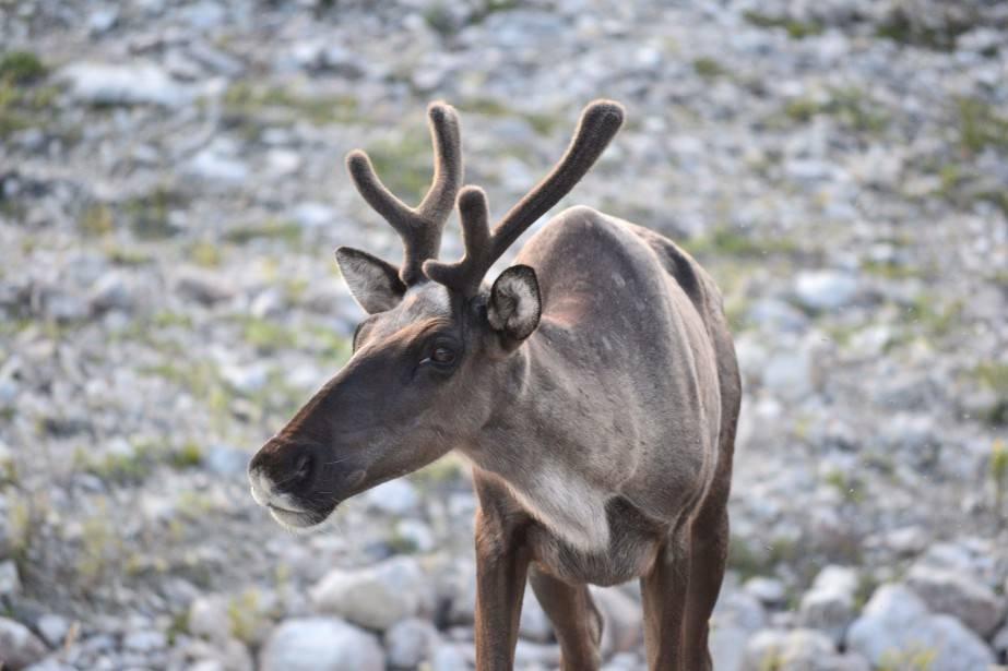 Parcs Canada donne son aval à un projet d'élevage de caribous en Alberta