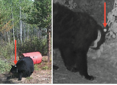 Un avis important lancé aux chasseurs et piégeurs d'ours noirs