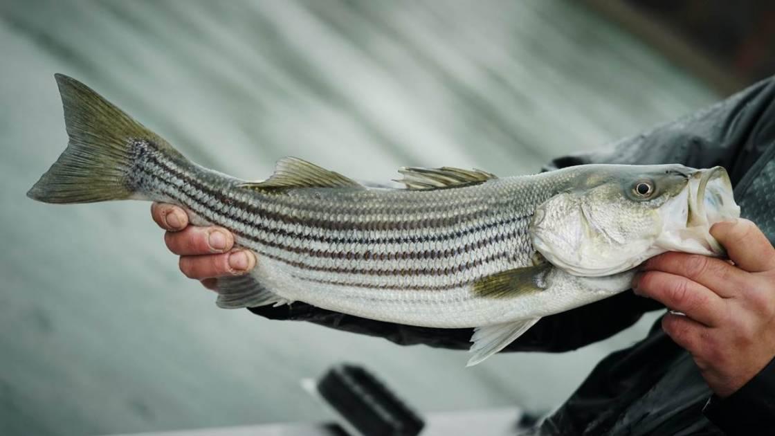 Il est temps de pêche le bar rayé plus à l'ouest du fleuve Saint-Laurent