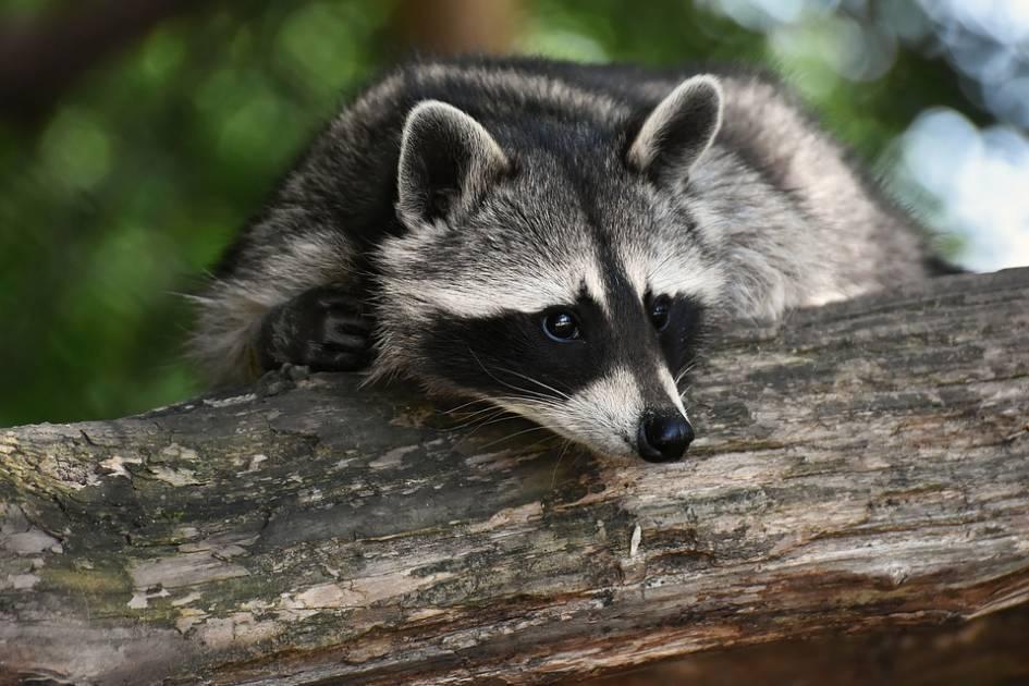 Arrêt de la vaccination des animaux sauvages en Montérégie