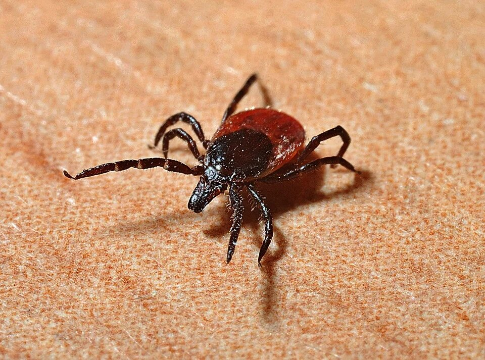 Maladie de Lyme : traitement préventif recommandé dans le Val Saint-François