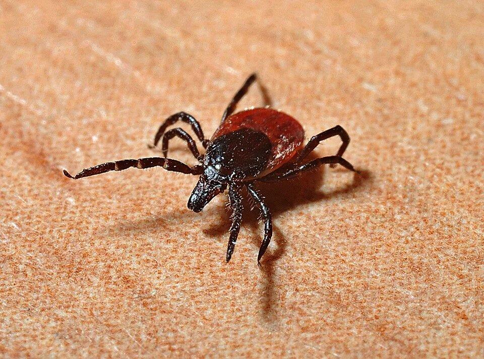 Maladie de Lyme: Boucherville, Sainte-Julie et Longueuil à haut risque