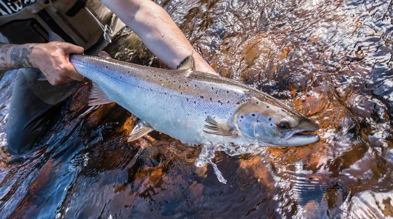Rivière York - Poursuite de la remise à l'eau obligatoire des grands saumons