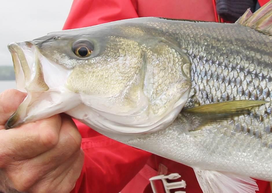 La FédéCP se désole du recul dans le dossier de la pêche au bar rayé