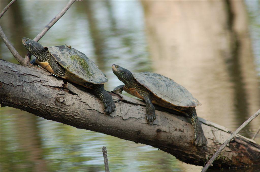 La période d'incubation des oeufs de tortues est en cours