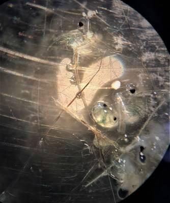 Le cladocère épineux est détecté dans la rivière des Outaouais