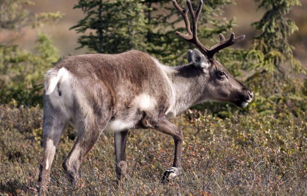La tordeuse du bourgeon de l'épinette nuit indirectement au caribou forestier