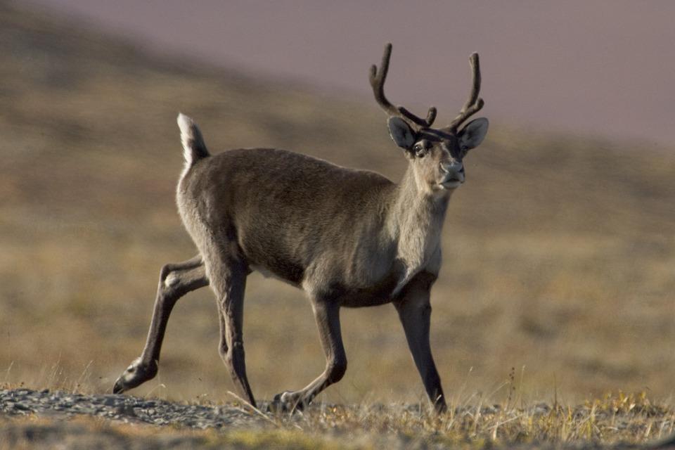 Création d'une grande aire protégée pour les caribous du Québec
