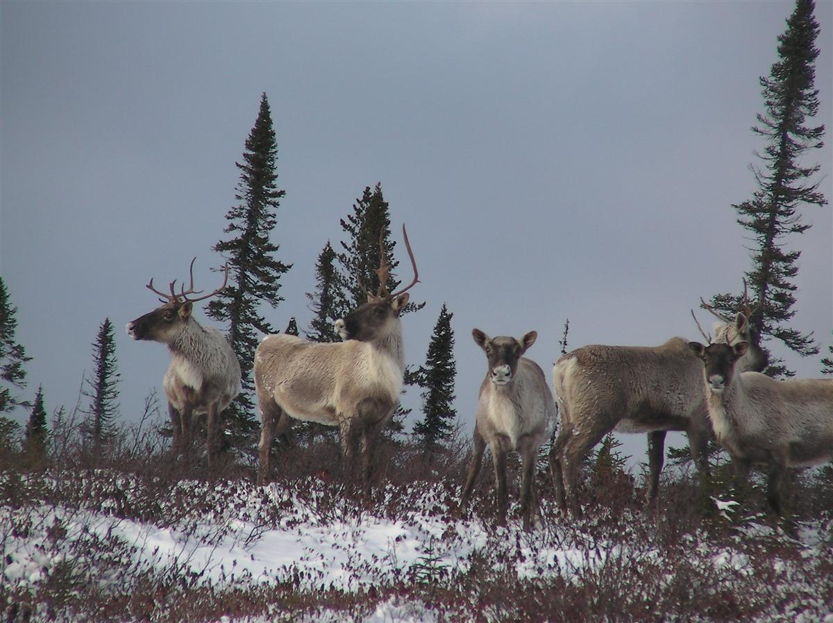 Un effet positif pour protéger le caribou forestier