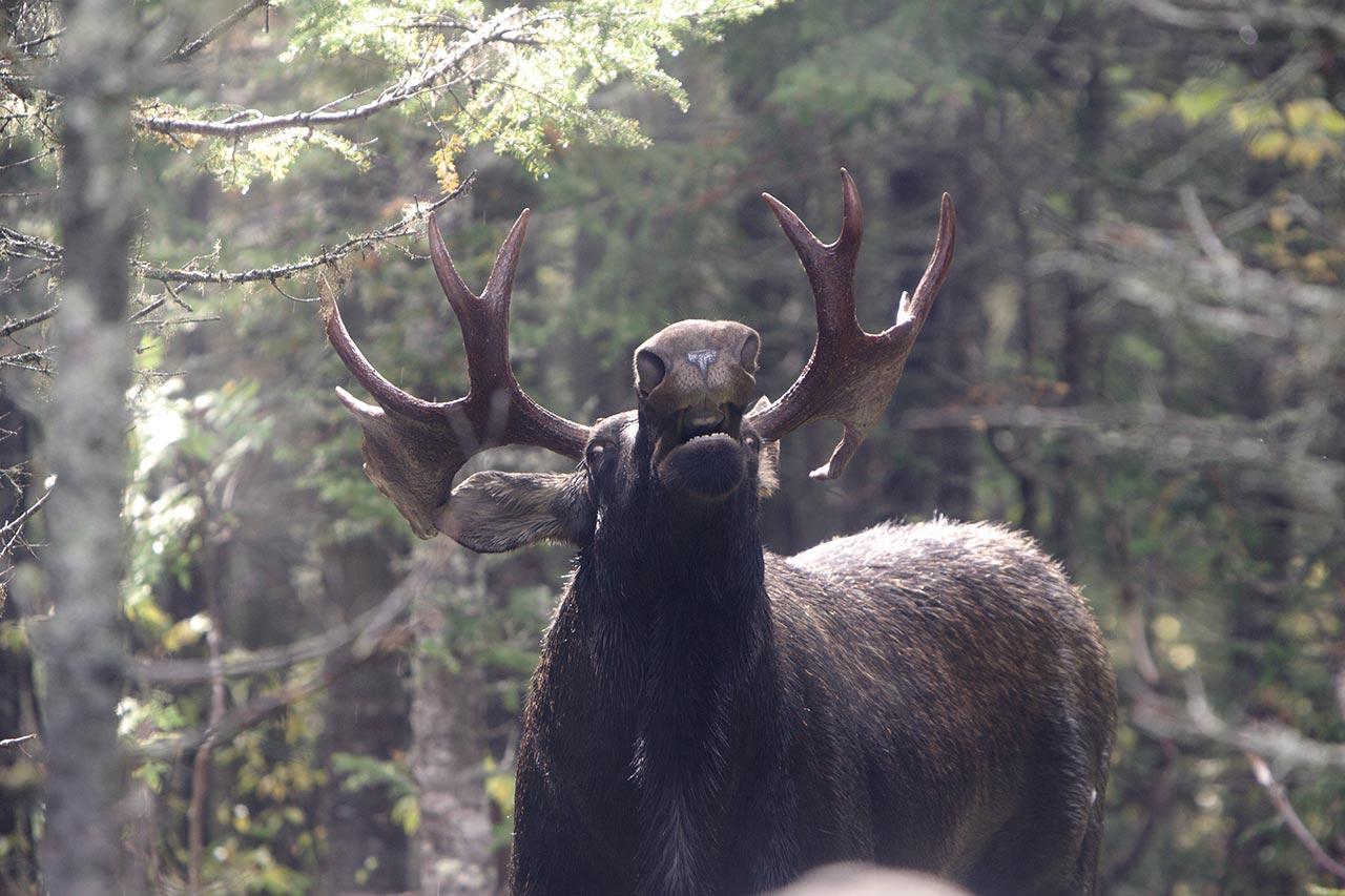 Réussir à déjouer le roi des forêts au Québec