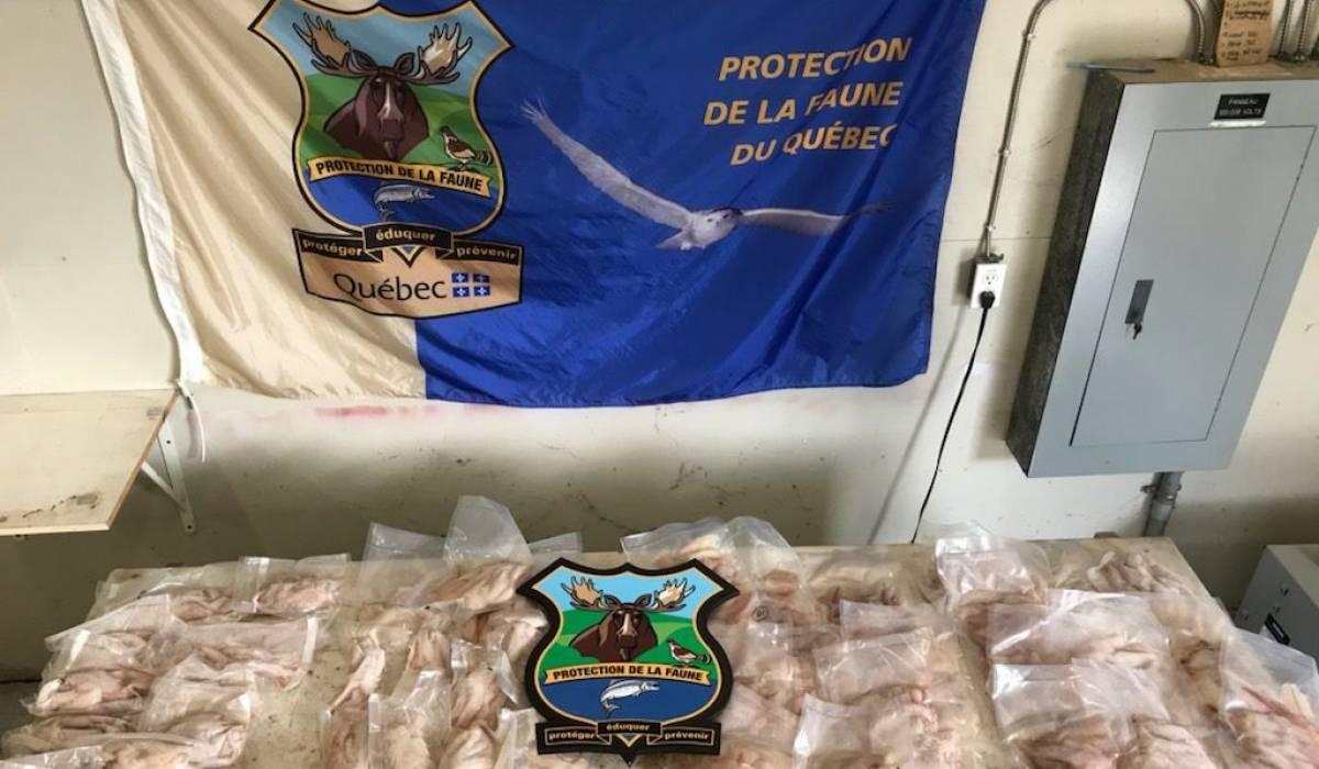 Plus de 1000 filets de perchaudes saisis dans le Bas-Saint-Laurent