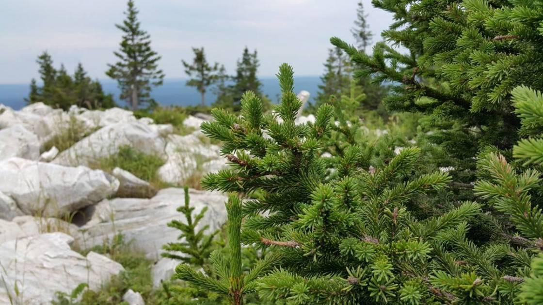 Le Québec est le principal exportateur d'arbres de Noël