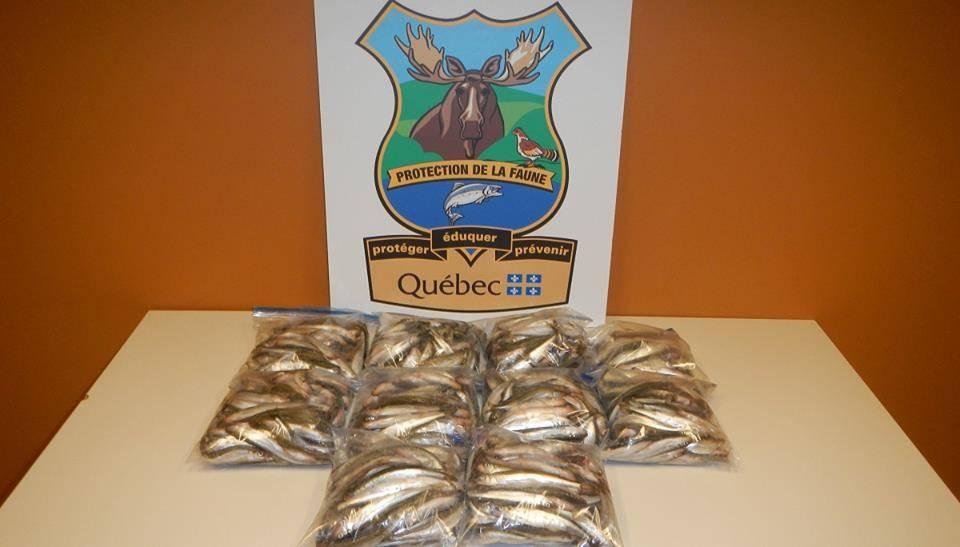 Un pêcheur a capturé illégalement 600 éperlans à Gaspé