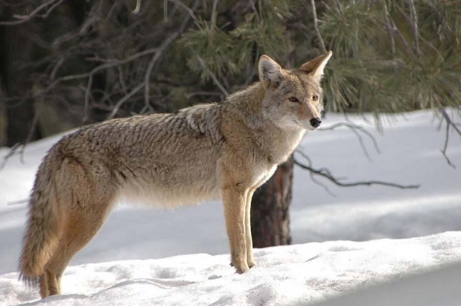 Encore un coyote dans les rues de Montréal?