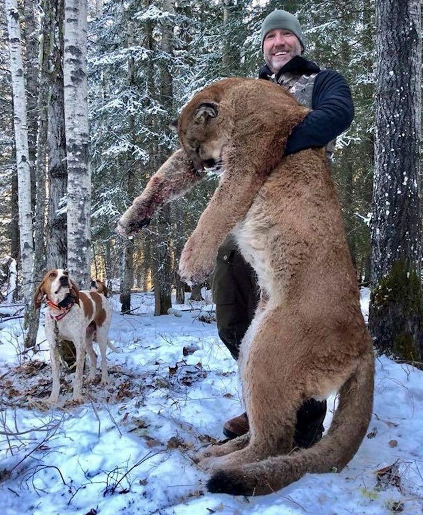 Les cougars provoque un débat sur les trophées de chasse en Alberta