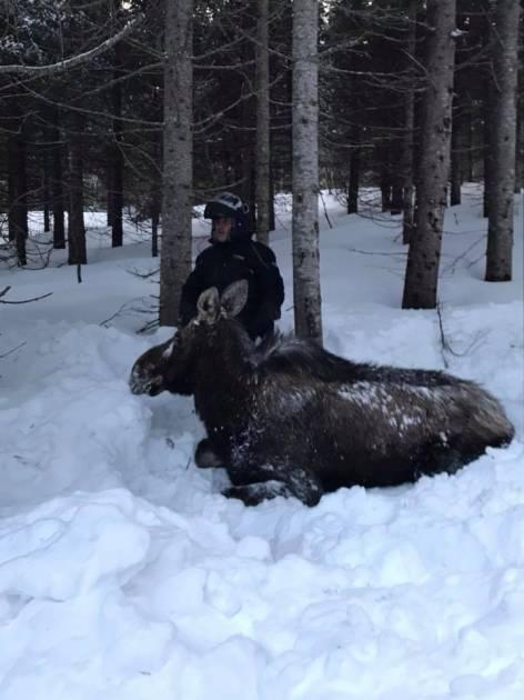 Des chasseurs tentent de secourir une femelle orignal enfoncée dans la neige