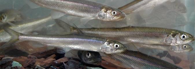 Les pêcheurs d'éperlans font le don de petits poissons pour Moisson!