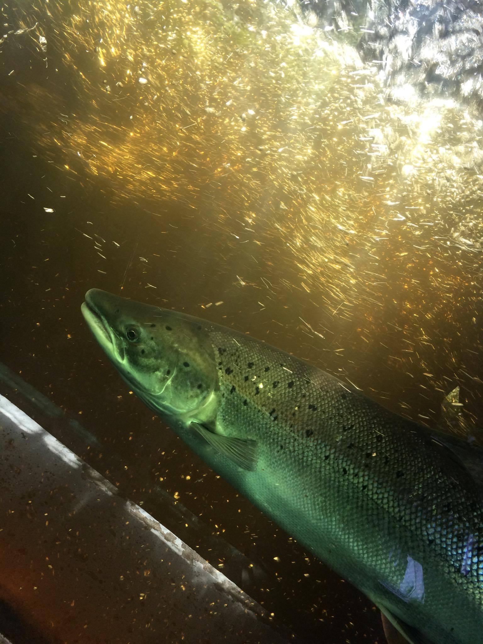 Bilan positif de la montaison des saumons de la rivière Jacques-Cartier