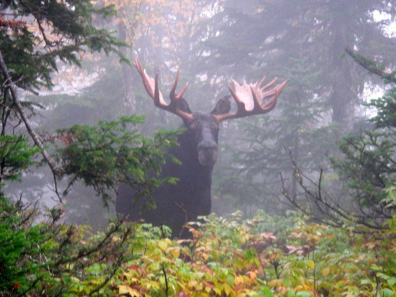 Mieux connaître les effets de la forte densité des orignaux sur les forêts