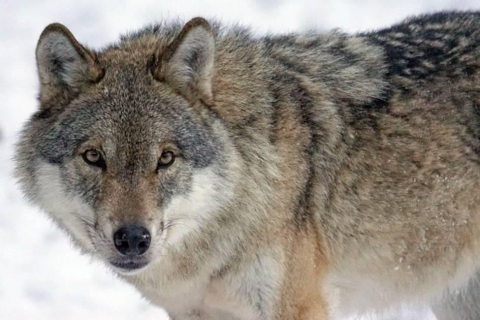 Des loups circulent à proximité de résidences à Chibougamau
