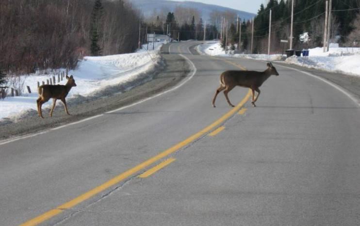 Chasser le cerf sans bois avant de diviser la Gaspésie en deux zones