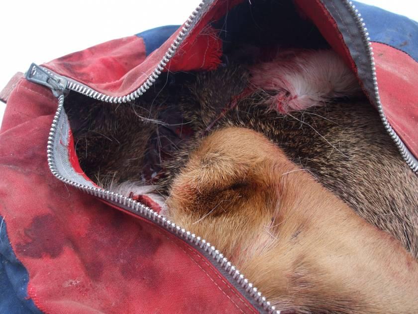 Une carcasse de cerf de Virginie retrouvée dans un sac de hockey en Gaspésie