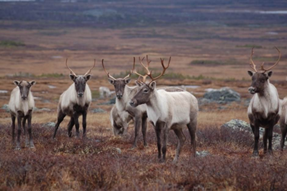 Le rapport préliminaire sur l'habitat du caribou forestier de Val-d'Or dévoilé