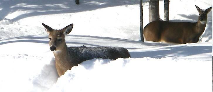 Les cerfs du ravage du Lac Biencourt traversent un hiver sans problème !
