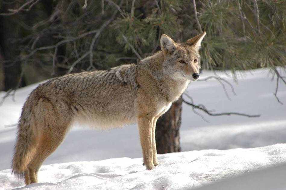 Les animaux sauvages en milieu urbain en hausse en Abitibi-Témiscamingue