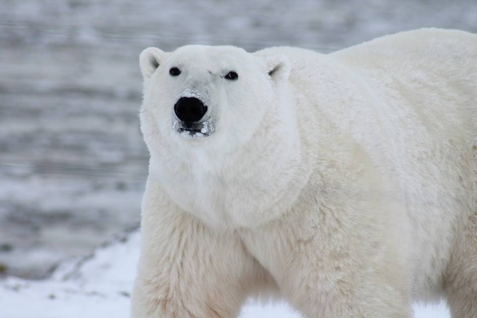 Les ours polaires ont déjà amorcé leur migration vers le Grand Nord