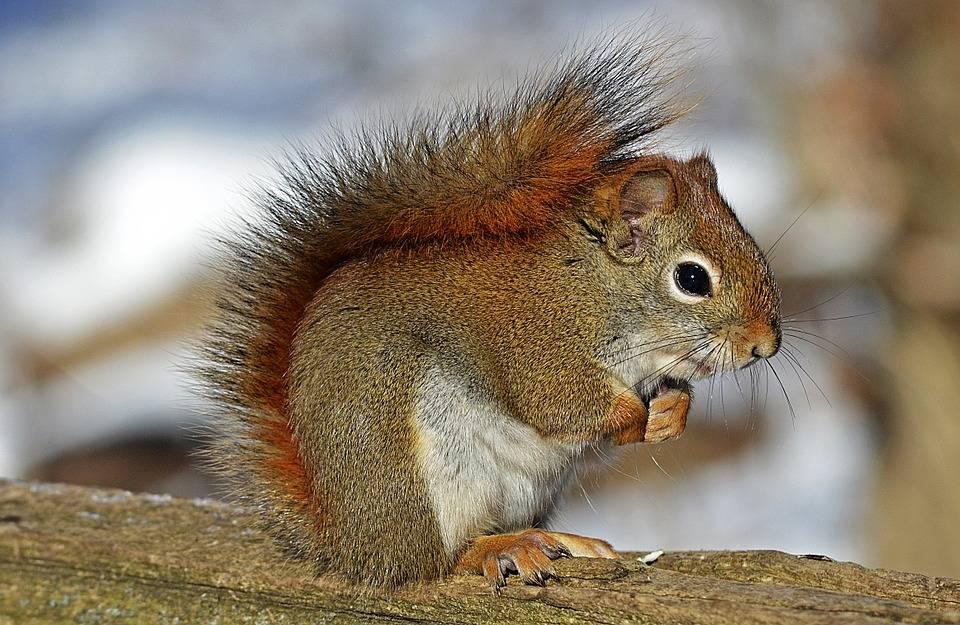 Les écureuils roux mâles tuent les petits des autres quand la nourriture abonde