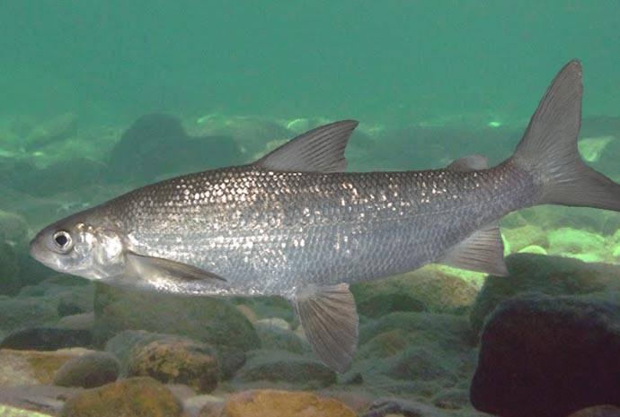 Québec modifie la période de pêche du « pointu » dans la rivière Touladi